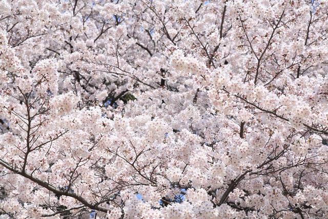 桜の写真素材 [FYI04120793]