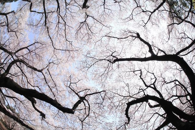 桜の写真素材 [FYI04120795]