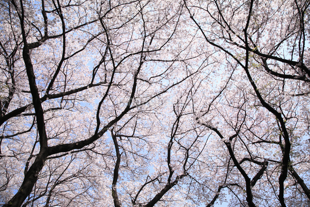 桜の写真素材 [FYI04120796]