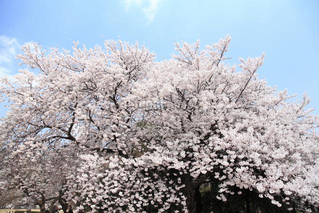 桜の写真素材 [FYI04120797]