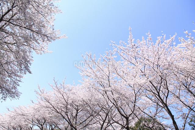 桜の写真素材 [FYI04120798]