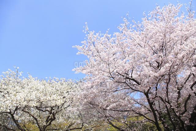 桜の写真素材 [FYI04120800]
