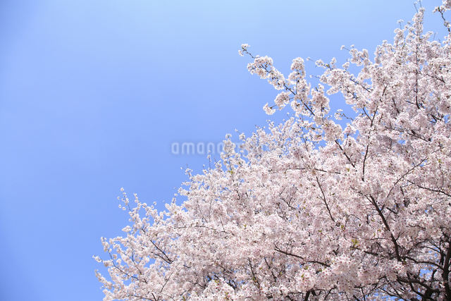 桜の写真素材 [FYI04120801]