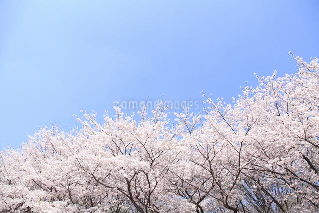 桜の写真素材 [FYI04120803]