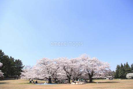桜の写真素材 [FYI04120804]