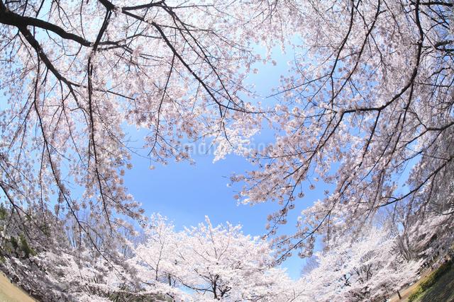 桜の写真素材 [FYI04120807]