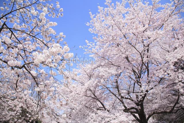 桜の写真素材 [FYI04120810]