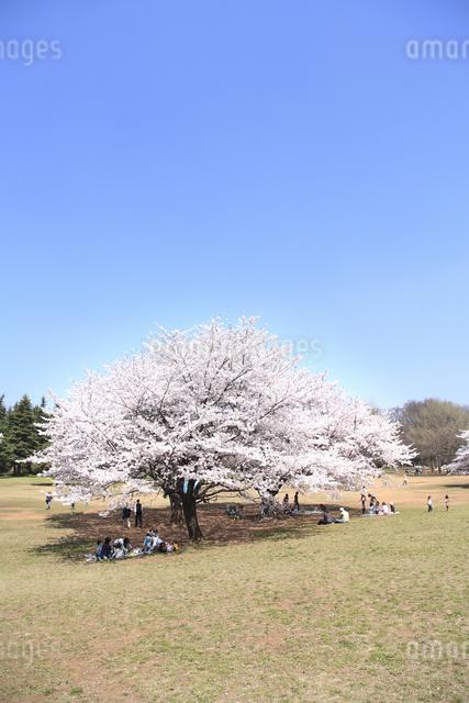 桜の写真素材 [FYI04120811]