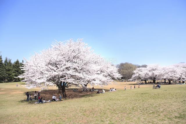 桜の写真素材 [FYI04120812]