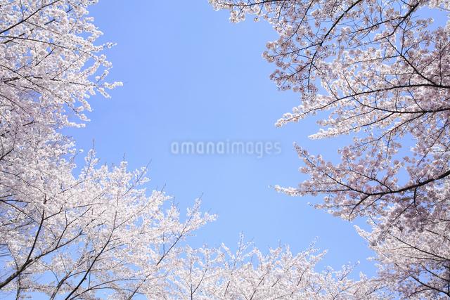 桜の写真素材 [FYI04120815]