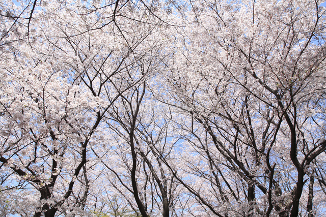 桜の写真素材 [FYI04120816]