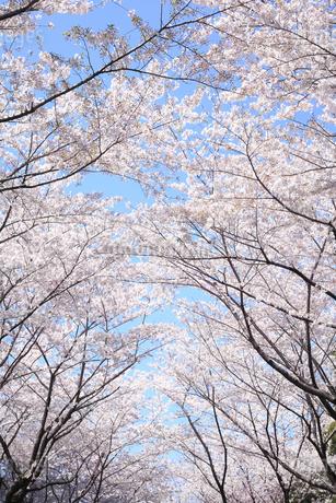 桜の写真素材 [FYI04120817]