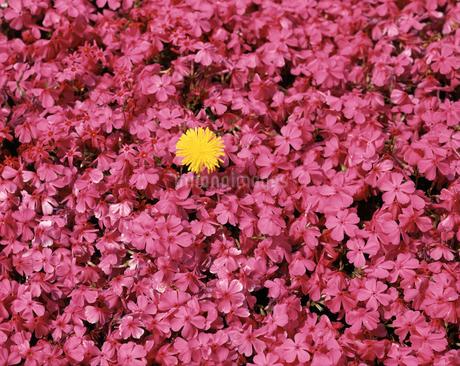 芝桜とタンポポの写真素材 [FYI04120863]