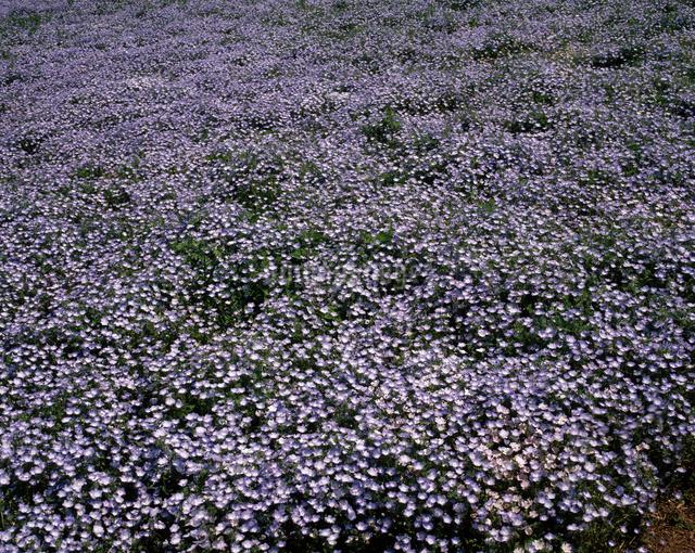 ネモフィラ群落の写真素材 [FYI04120887]