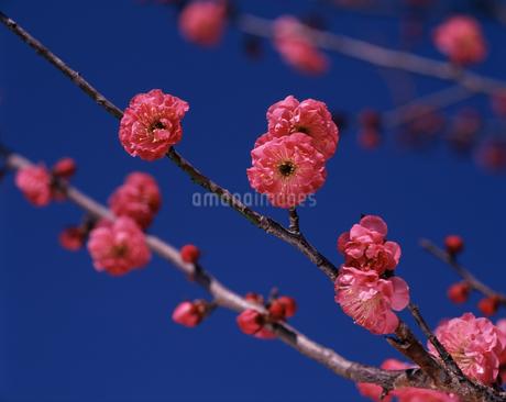 八重寒紅梅の写真素材 [FYI04120897]