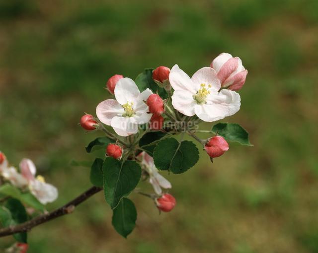 りんごの花の写真素材 [FYI04120901]