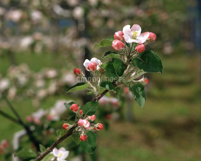 りんごの花の写真素材 [FYI04120902]