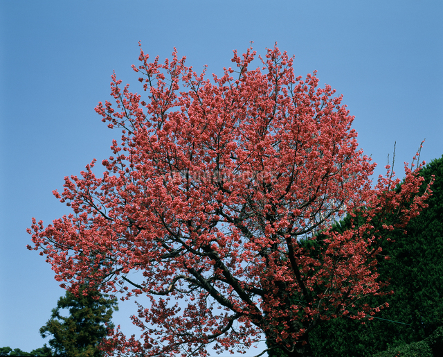 寒緋桜の写真素材 [FYI04120919]