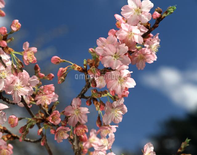 河津桜の写真素材 [FYI04120936]