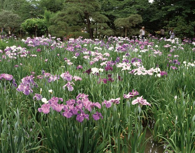 堀切菖蒲園の写真素材 [FYI04120938]