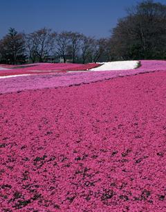 芝桜の写真素材 [FYI04120947]