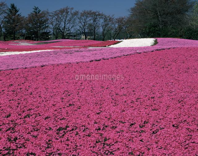 芝桜の写真素材 [FYI04120948]