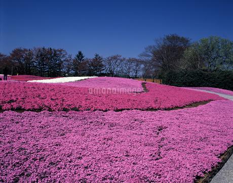 芝桜の写真素材 [FYI04120949]