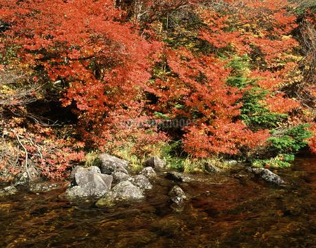秋の白駒池の写真素材 [FYI04120976]