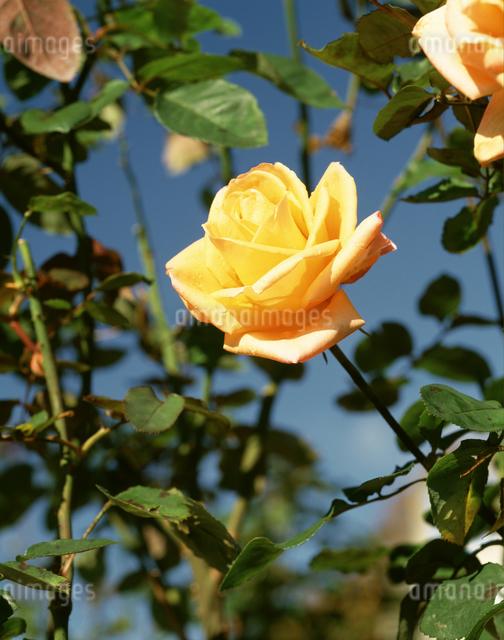 バラ(常夏)の写真素材 [FYI04120981]
