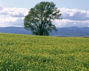 キカラシと一本の木の写真素材 [FYI04121084]
