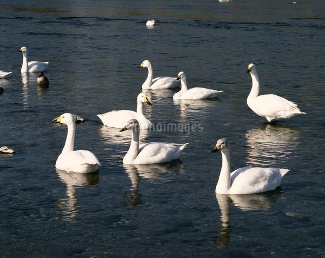 白鳥飛来地の写真素材 [FYI04121162]