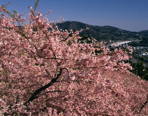 まつだの河津桜の写真素材 [FYI04121180]