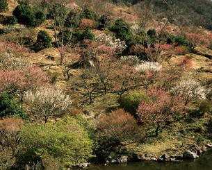 湯河原梅林の写真素材 [FYI04121185]