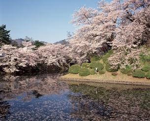 桜の写真素材 [FYI04121304]