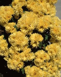 食用菊の写真素材 [FYI04121431]