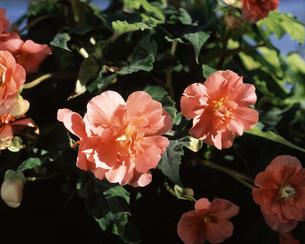 球根ベコニア(ピンクスパイス)の写真素材 [FYI04121433]