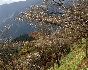 冬桜の写真素材 [FYI04121459]