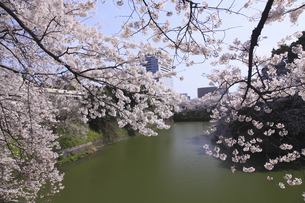 東京の桜の写真素材 [FYI04122723]