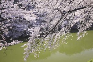 東京の桜の写真素材 [FYI04122724]