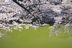 東京の桜の写真素材 [FYI04122725]