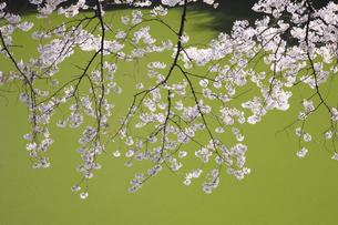 東京の桜の写真素材 [FYI04122726]