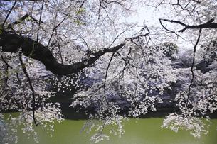 東京の桜の写真素材 [FYI04122727]