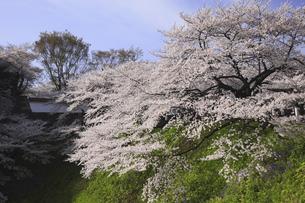 東京の桜の写真素材 [FYI04122728]