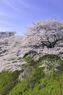 東京の桜の写真素材 [FYI04122729]