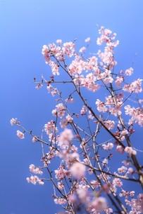 春咲きの十月桜の写真素材 [FYI04122772]