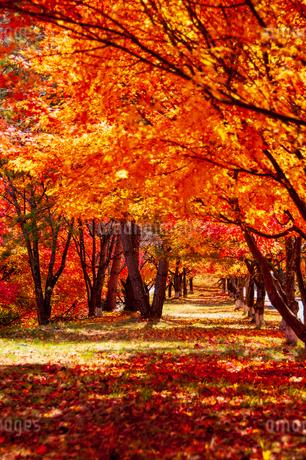 紅葉のトンネルの写真素材 [FYI04122897]