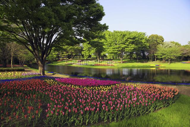 チューリップ咲く公園の写真素材 [FYI04123371]