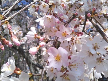 枝垂桜の写真素材 [FYI04123538]