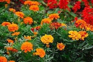 花壇の花の写真素材 [FYI04124006]