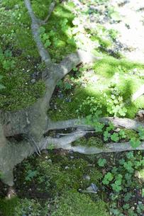 木の根の写真素材 [FYI04124410]